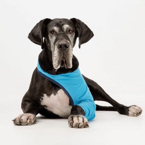 A large black dog laying down wearing a blue Vethelp leg cover on its front leg.